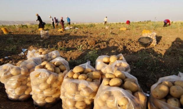 manchette-potato1-2-620x370